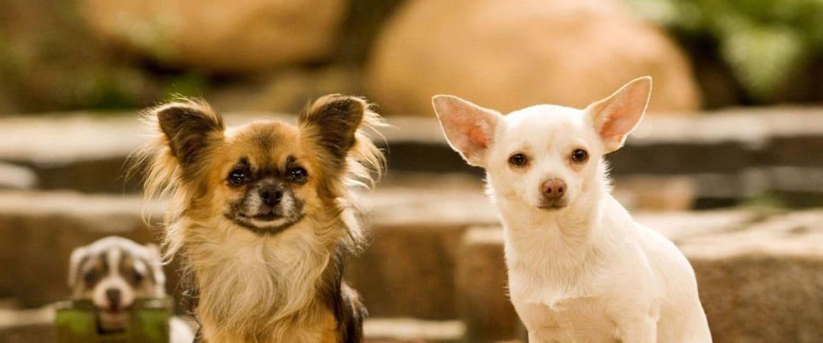 Watch Beverly Hills Chihuahua
